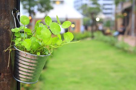 green herb plant gotu kola, asiatic or indian pennywort in flowerpot hang on wood pole in green grass garden