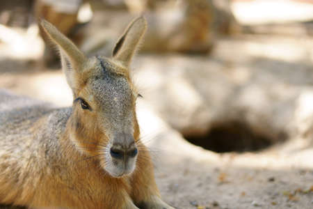 close up head patagonian mara or dolichotis patagonum and dillaby with rabbit breed and cavity for wild life and animal on nature in jungle or zoo