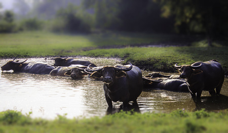 colorado mountains: Local Thai large bovine water buffalo cow