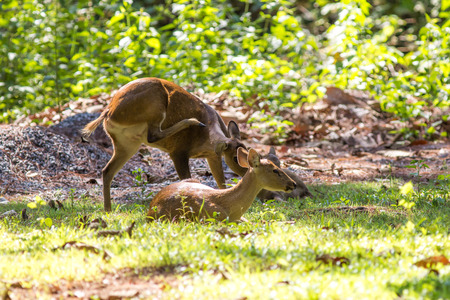 animal species: Hog Deer is close to zero animal species in a wildlife conservation center in Phu Kiew Stock Photo