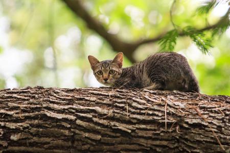 hissing: Ritratto di sibilo gatto arrabbiato che mostra i denti