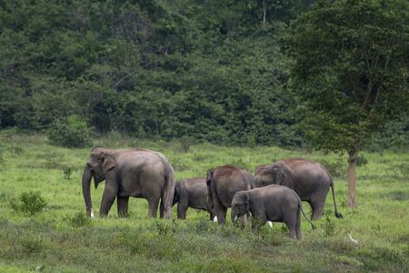 herbivores: asia elephant in thailand