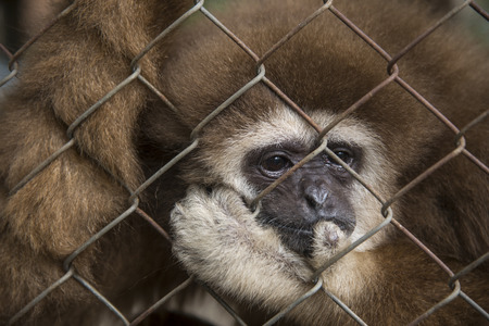 Sad gibbon in a cage Stock Photo