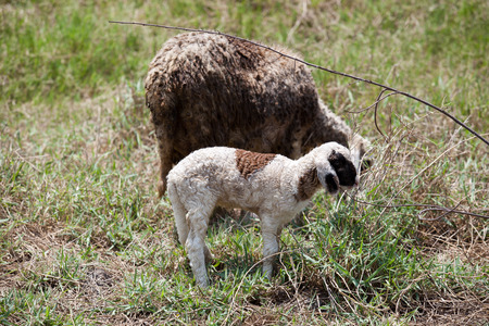 Mother sheep and her lambs of Thailand