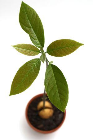 Avocado plant isolated on white.
