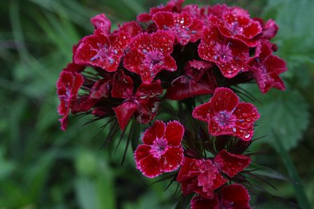 Red Dianthus. After a rain.