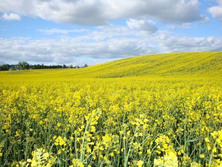 oilseed: Oilseed rape plants