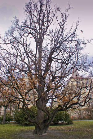 cz: Oak tree in the park.