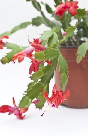 Christmas Cactus photo