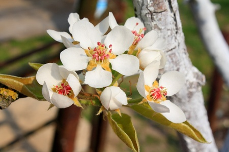 Blossoming branch of a pear  photo