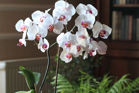 White Orchids in the home