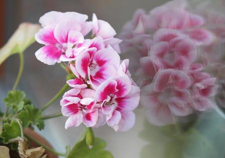 Geranium flowers Stock Photo - 10815728