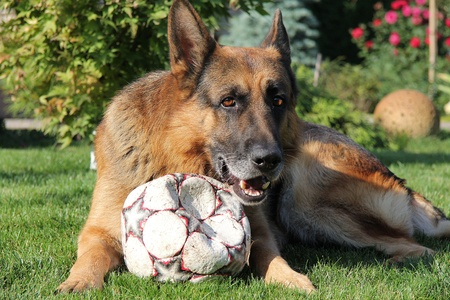 German shepherd with a ball on a grass photo