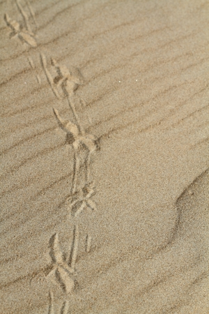 Traces of a bird on sand photo