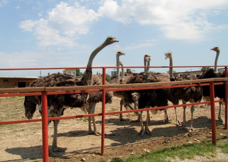Ostriches in a group photo