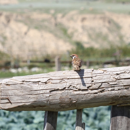 Sparrow on wooden fence photo