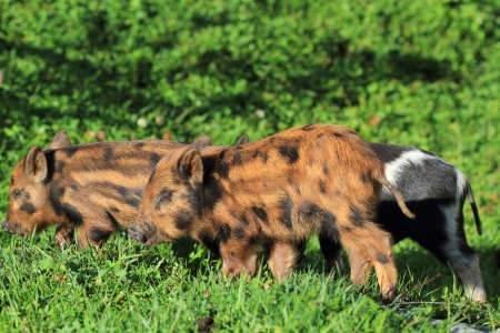 piglets: Piglets on background of meadow
