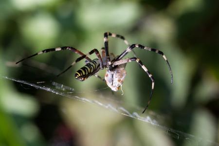 arachnoid: Spider on the web