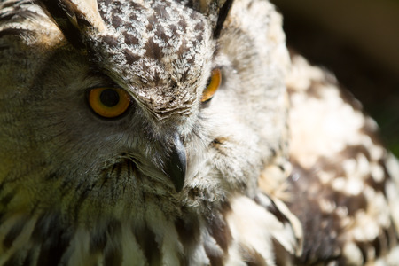 Eagle Owl photo