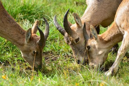 capra: The West Caucasian tur (Capra caucasica) eating grass Stock Photo