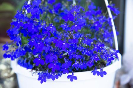 Blue lobelia flowers in a garden Stock Photo