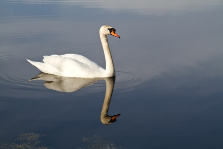 cygnet: Swan swimming in lake Stock Photo