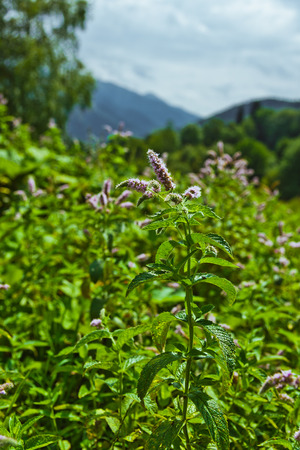 Flowers of mentha piperita Stock Photo