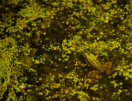 morass: Huge frog in the weed-covered swamp