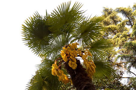 blossoming yellow flower tree: Palm trees