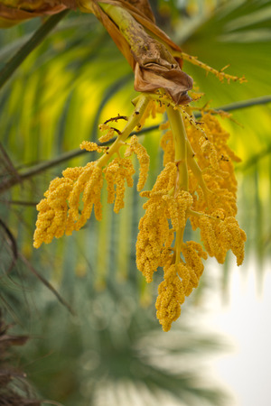 blossoming yellow flower tree: The blossoming palm trees Stock Photo