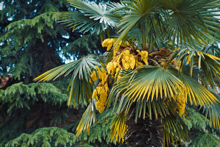 blossoming: The blossoming palm trees Stock Photo