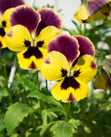 tricolor: Viola tricolor flowers