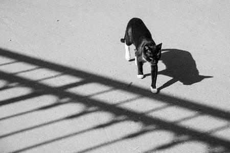 blackwhite: Black-white cat Stock Photo