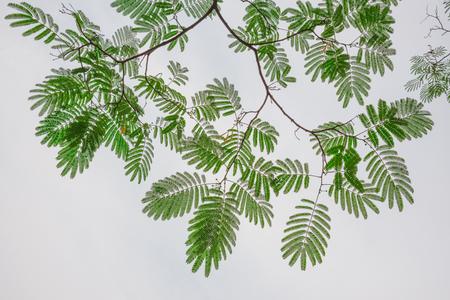 japonica: Sophora japonica Stock Photo