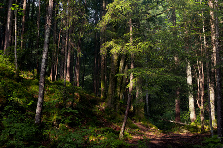 Old forest in the mountains with pine trees