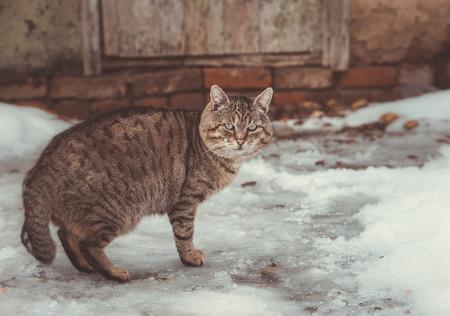 grey cat: Grey cat outdoors in winter