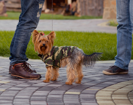 obedient: Obedient yorkshire terrier dog with owner in the park