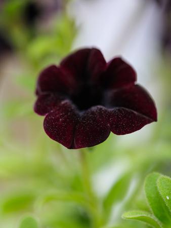 Dark Purple petunia