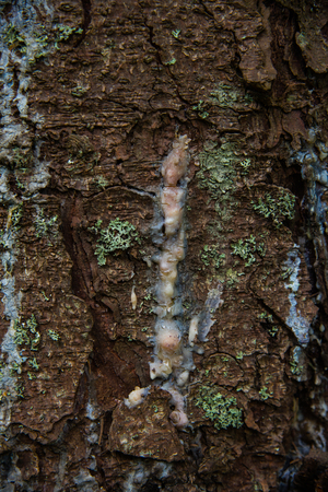 rosin: Pitch pines on a tree trunk Stock Photo
