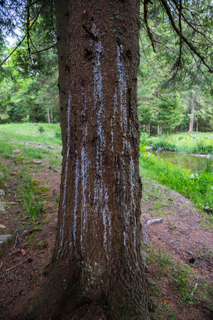 Pitch pines on a tree trunk Stock Photo
