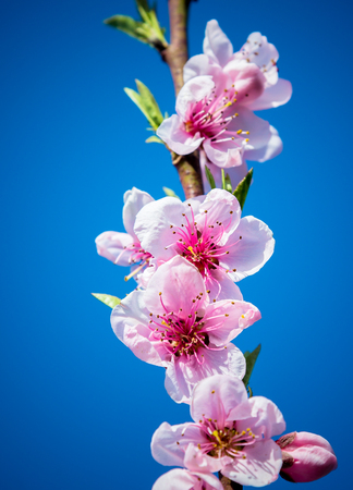 white blossom: peach flowers Stock Photo