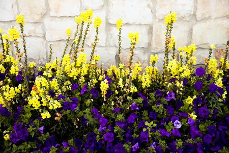 common snapdragon: Linaria vulgaris and violet Petunia Stock Photo