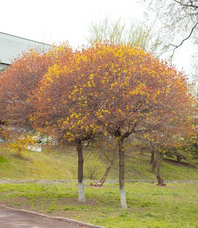 acer: Acer platanoides Globosum