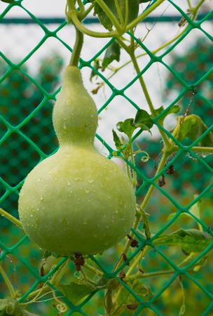 Lagenaria siceraria in the home garden Stock Photo