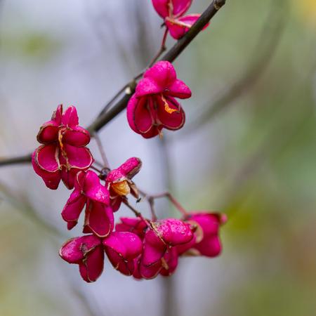 Beautiful bright fruit euonymus in autumn