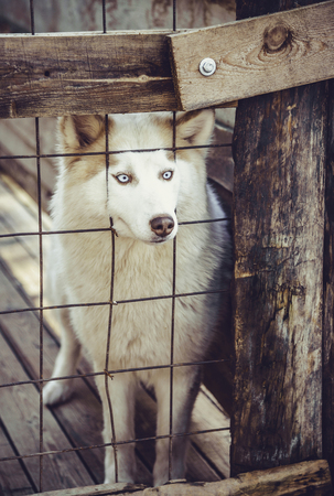 huskies: Husky dog locked in a cage Stock Photo