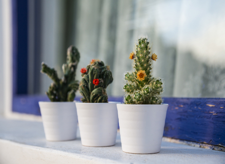 Cacti and succulents in the small white flower pots outdoor