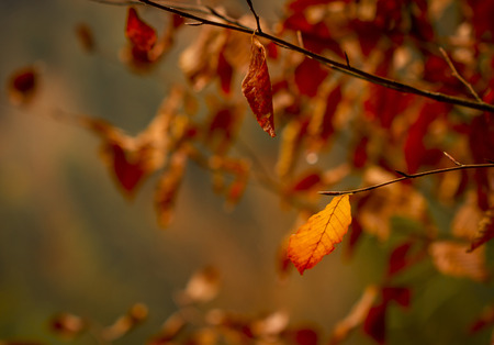 yellow alder: Golden autumn leaves on a branch in forest Stock Photo