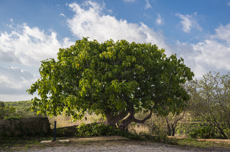 Ficus carica – Common fig tree. Garraf, Spain Stock Photo