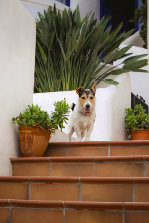 Cute dog jack russel terrier sitting on the steps near house